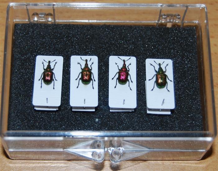 Abberton Weevil