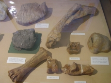 Assorted fossils labelled and on display at Ipswich Museum and Gallery