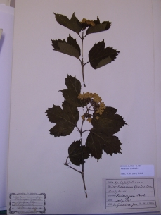 Plant specimen pressed and dried