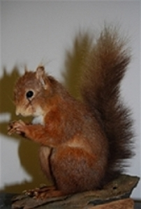 Red Squirrel in the taxidermy collection