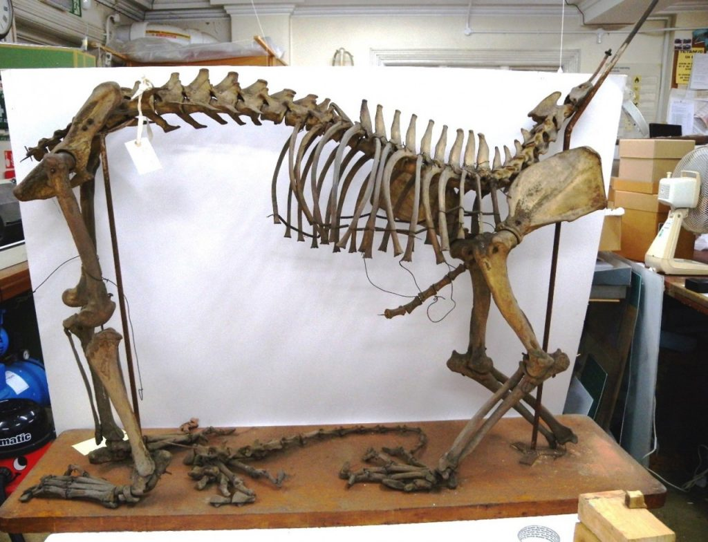Mounted skeleton