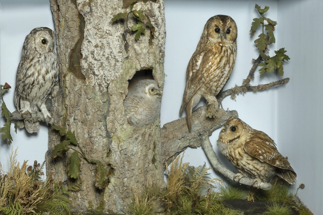 Ogilvie collection - Tawny Owls