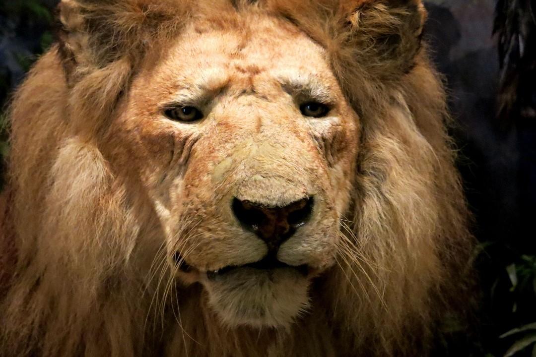 Ipswich Museum lion