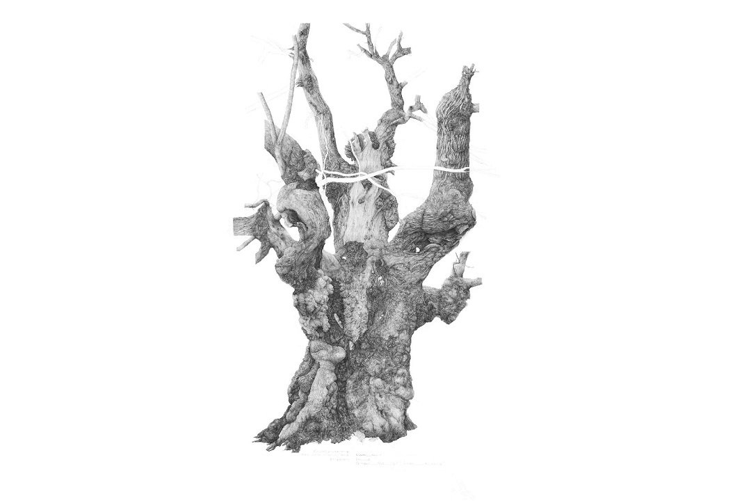 A lifelike, black and white drawing of a Chestnut tree