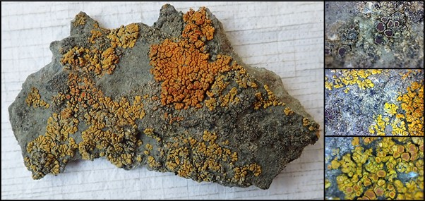 A composite of four images of a lichen covered rock. Each image is bordered by a black outline. On the left is a large image taking up three quarters of the composite, has a large flat surfaced grey rock covered in patched of yellow and orange lichen on a white background. On the right quarter of the image are three magnified images of different parts of the lichen. The top right image shows magnified grey and brown fruiting bodies on a patch oof pale yellow-grey crust like lichen. The centre right image is a magnified view of the rock with the top left and bottom right corners partially covered in yellow lichen growth and the grey rock in between dotted with dark brown fruiting bodies with pale edges. The bottom right image is a magnified view of the yellow lichen, some of the yellow oval growth have a dull orange-brown centre.