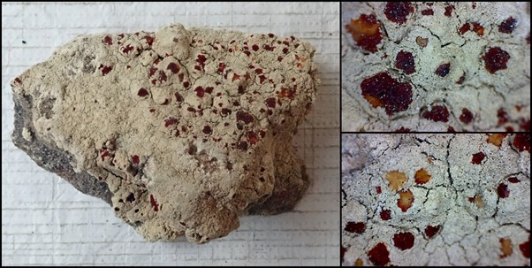 A composite image of a bloodstain lichen images. Each image in bordered by a black outline. The main image on the left is of a dark grey rock almost entirely covered in a cream coloured crust lichen, on the top right of the rock there are many red spots, the rock is on a white background. There is another patch of red spots on the bottom of the rock near the middle of the image. On the right are two magnified images of the red fruiting bodies of the lichen. The top right image shows the mottled white-grey of the cracked crust of the lichen, with irregularly shaped red spots of various sizes, the two largest red patches have some yellow in them as well. The bottom left shows another section of the lichen growth, the lichen here is also pale-grey crust with a cracked surface dotted with red irregular shaped spots, some of these are partially yellow and one is completely yellow.