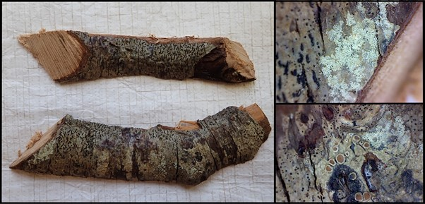A composite of three images. Each image in bordered by a black outline. The main image is on the left is of two cut willow twigs, bark side up, on a white background. The bark is a mottled grey-green and dark brown, either end of the twig shows smoothly cut ends. The right third is split between two magnified images of the bark. The top image shows a magnified image of the bark on the edge of the twig, the bottom right of the image is an out of focus shot of the pale wood of the twig, the rest is mostly a silver-grey with small dark markings and a patch of powdery wide growth. The bottom image is a magnified image of the bark. Most of the bark is a silver-grey with some brown and black patches. In the centre of the images are some oval fruiting bodies with orange-brown centres and pale edges
