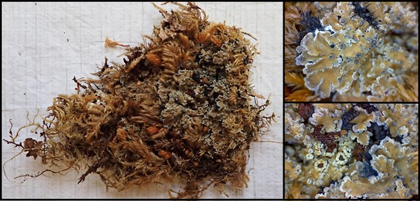 A composite image of three lichen images. Each image in bordered by a black outline. The main image is on the left and consists of two thirds of the overall image. It consists of a photo of a triangular clump of dried green-orange moss on a white background, on the right of the clump there is a white edged lichen growing in the moss. On the right are two magnified images of the lichen in the moss. The top right image shows the white edged pale yellow-green lichen. The bottom right image is of the fruiting bodies of the lichen, they are oval with a dark brown centre and pale edges, they are nestled in the rest of the lichen