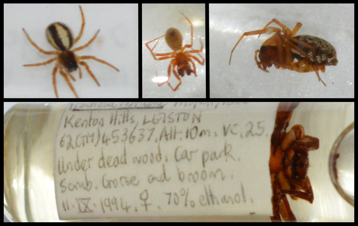 """A composite image of four spiders. Each image is bordered by a black outline. Top left is a top down view of a small orb-weaver spider with red/orange legs, brown thorax, and black and white striped abdomen. Top centre is a side view of a Neriene peltata spider with pale orange legs and thorax and a silvery abdomen with a distinct while stripe near the top of the abdomen. Top right is a side view of a sheetweb spider, with orange legs head and thorax and a silvery-white abdomen with black spots. The bottom row is the image of a glass tube filled with 70% ethanol liquid with a label reading """"Kenton Hills, Leiston, 62(TN)453637, Alt:10m, VC.25. Under dead wood. Car park. Scrub. Gorse and broom. 11/09/1994. Female. 70% ethanol"""". To the right of the label, the head and the first two set of legs and part of the thorax of a wolf spider, is visible, giving it the appearance that it is peeking out from behind the label."""