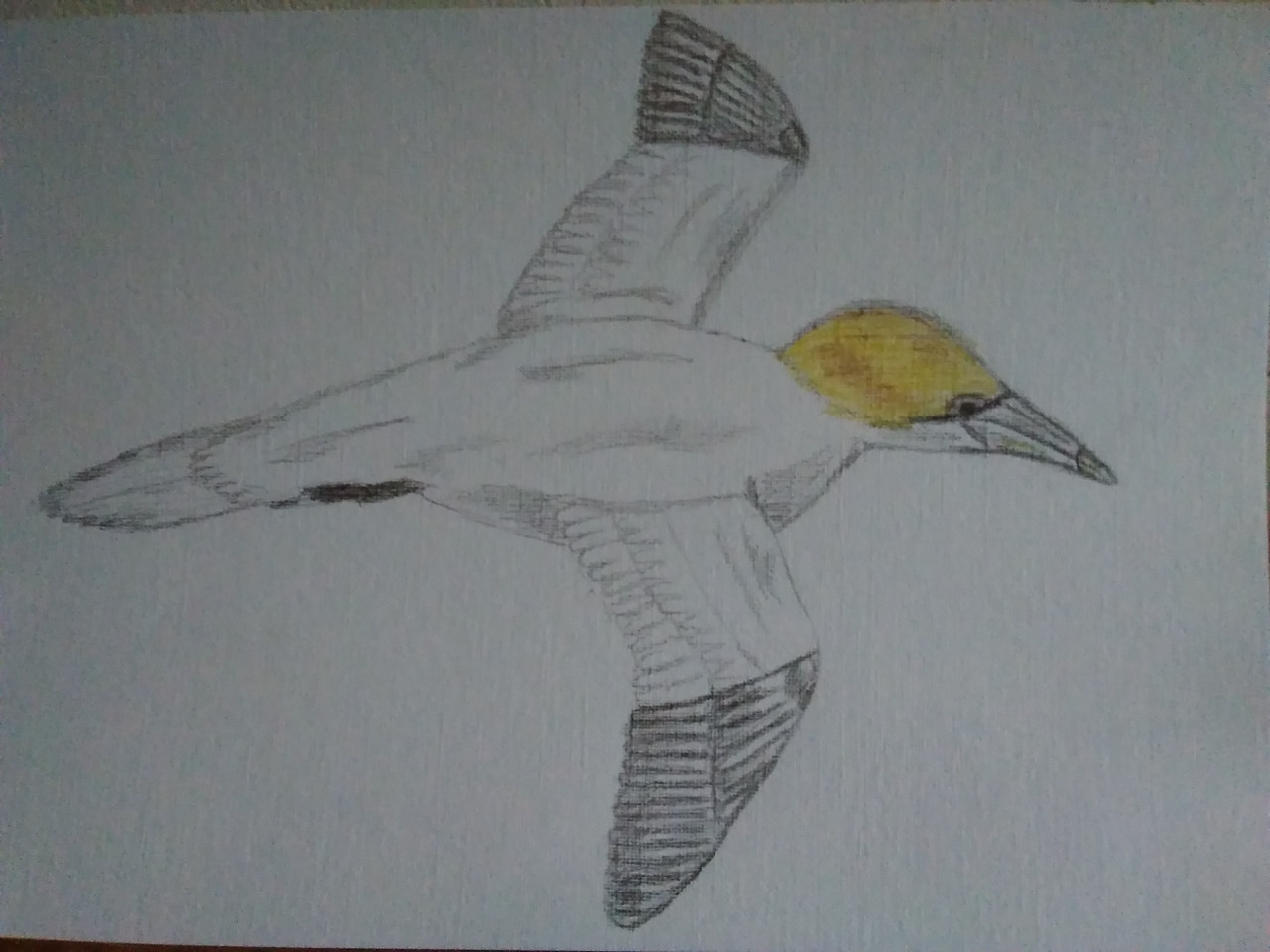 A drawing of a Northern Gannet in flight. The body of th ebird is white with a yellow head. The tips of it's wings are dark grey
