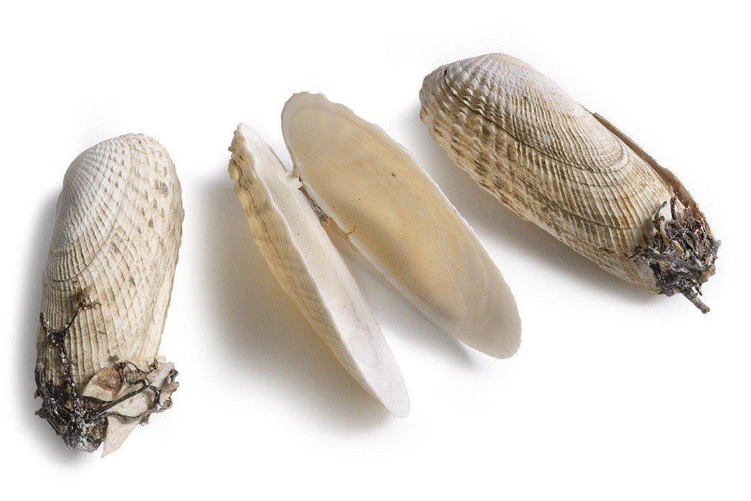 Colour photograph of three American piddock shells, two of the shells are closed and are partially covered in seaweed, the one in the middle is open showing the inside of the cleaned shell.