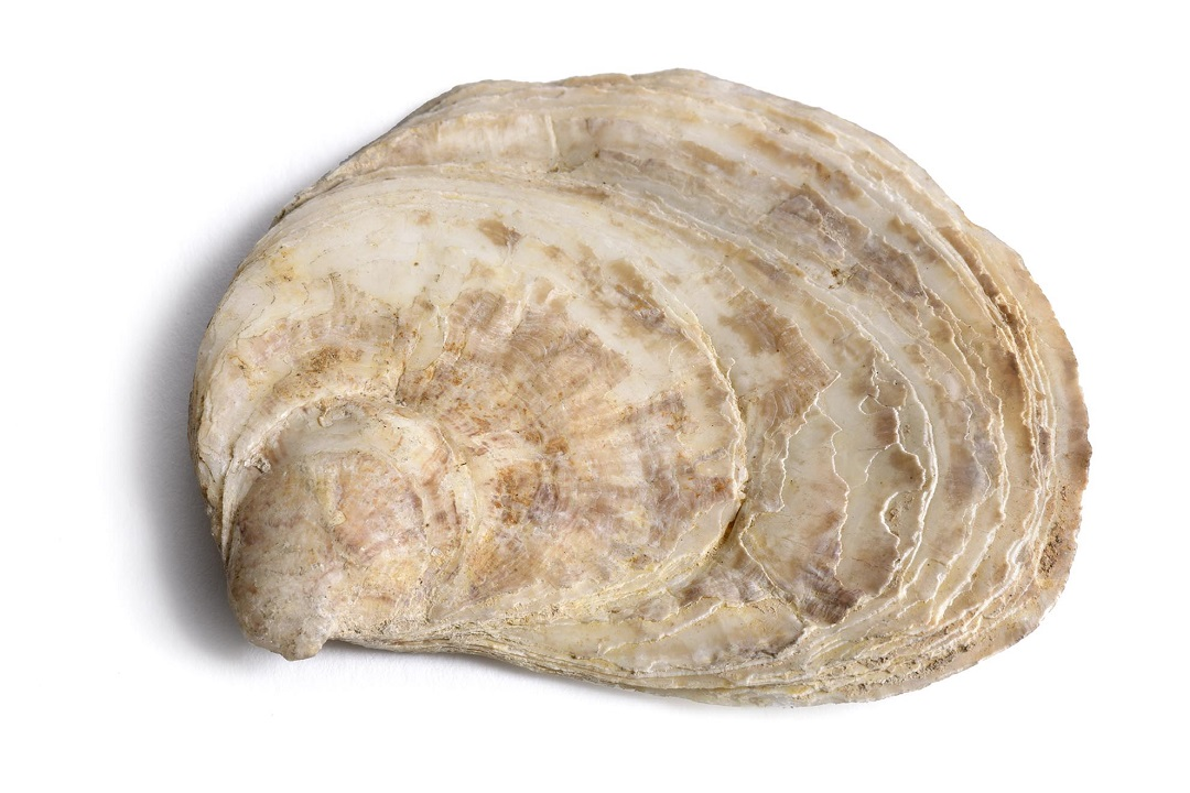 A colour photograph of one half of on a native oyster shell. The shell is flat, with a pale brown and cream colour. It has visible concentric rings that widen towards the edge of the shell that have grown in layers.