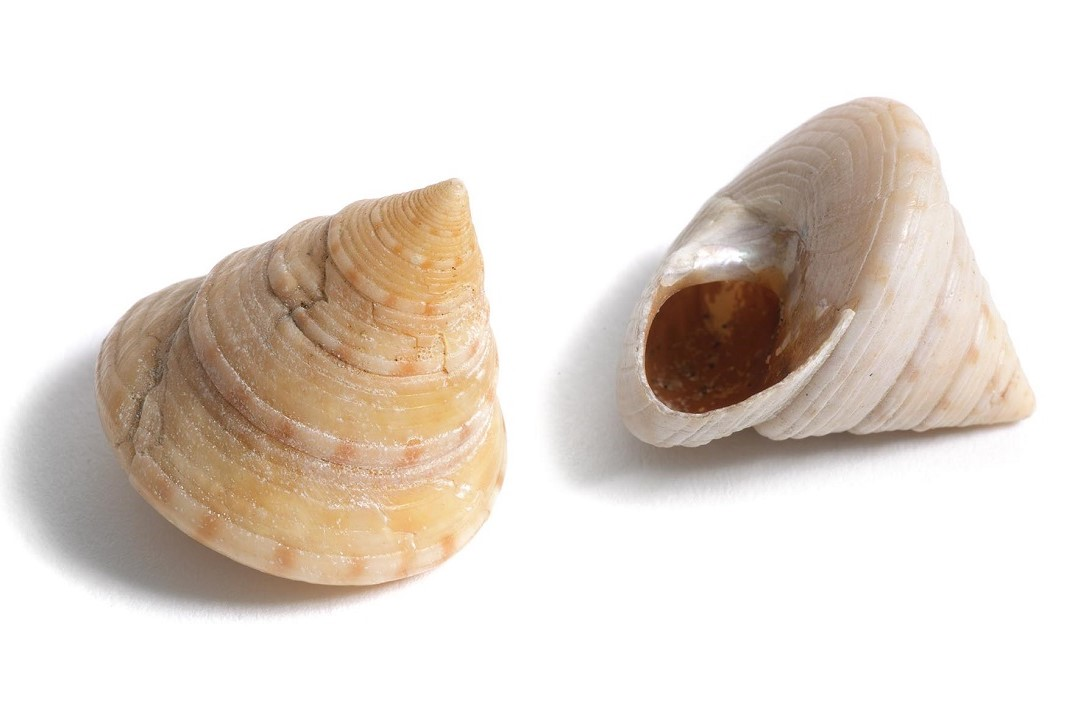A colour photograph of two creamy-yellow European painted top shells. The shells are cone shaped with a wide base. One is right side up with its tip pointing towards the camera, the other is laying on its side with the underside and mouth of the shell visible.