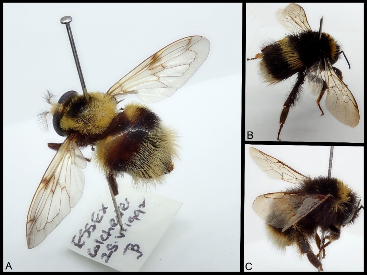 A composite image of three photos, on the left is a photo of a bumblebee hoverfly, on the top right a photo of a white-tailed bumblebee and bottom right a buff-tailed bumblebee.