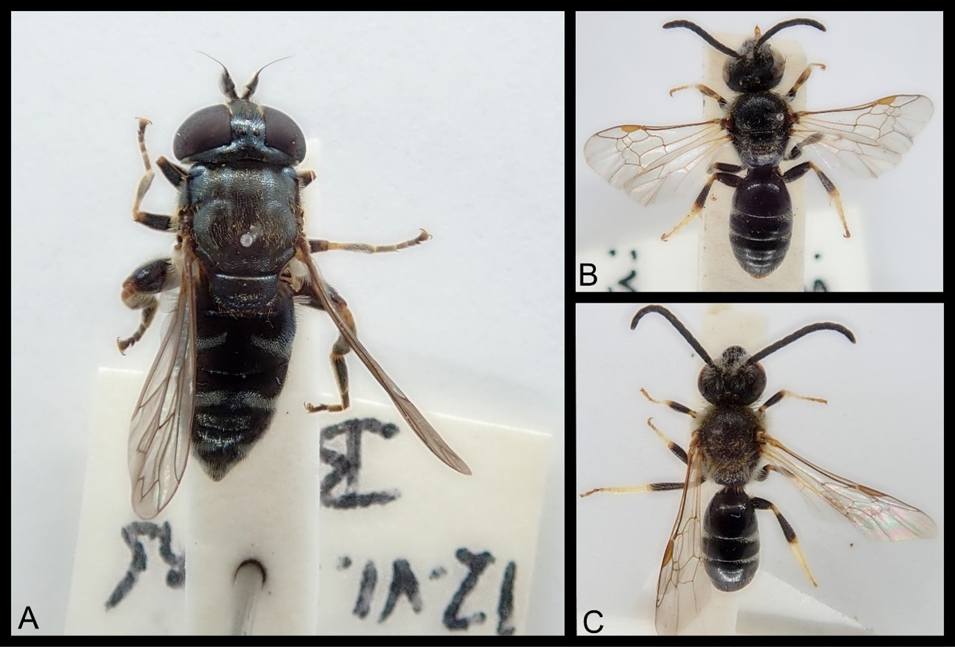 A composite image of three photos. On the left is a photo of a Lesser Bulb Fly taken from above. It has a dark body and thin, yellowish legs. On the top right and bottom right are photos of a Sweat Bee taken from above. It has a dark body in three pronounced sections, pale wings, yellowish legs and dark antennae.