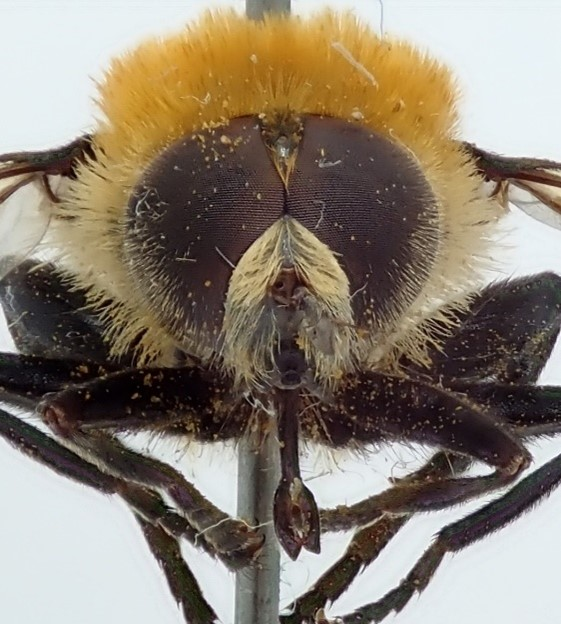 A photo showing the close-up of a male narcissus bulb fly, showing its large eyes covering almost its entire head.