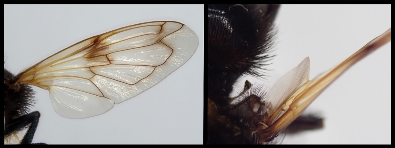 A composite imaged made up by two photos. Left: a close-up of the wing as seen straight on of a narcissus bulb fly showing wing venation. Right: the haltere of a narcissus bulb fly as seen from above.
