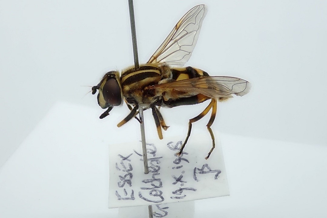 Photo of a pinned Helophilus pendulus, a species of hovefly known as 'the footballer' or the 'sun fly'. It collection information is visible, showing is was collected in Colchester on the 19th October 1998 while visiting Ivy flowers.